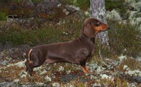 Champion hund Sascha